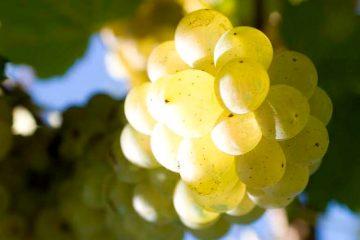 trebbiano-grapes